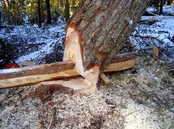 att fälla träd